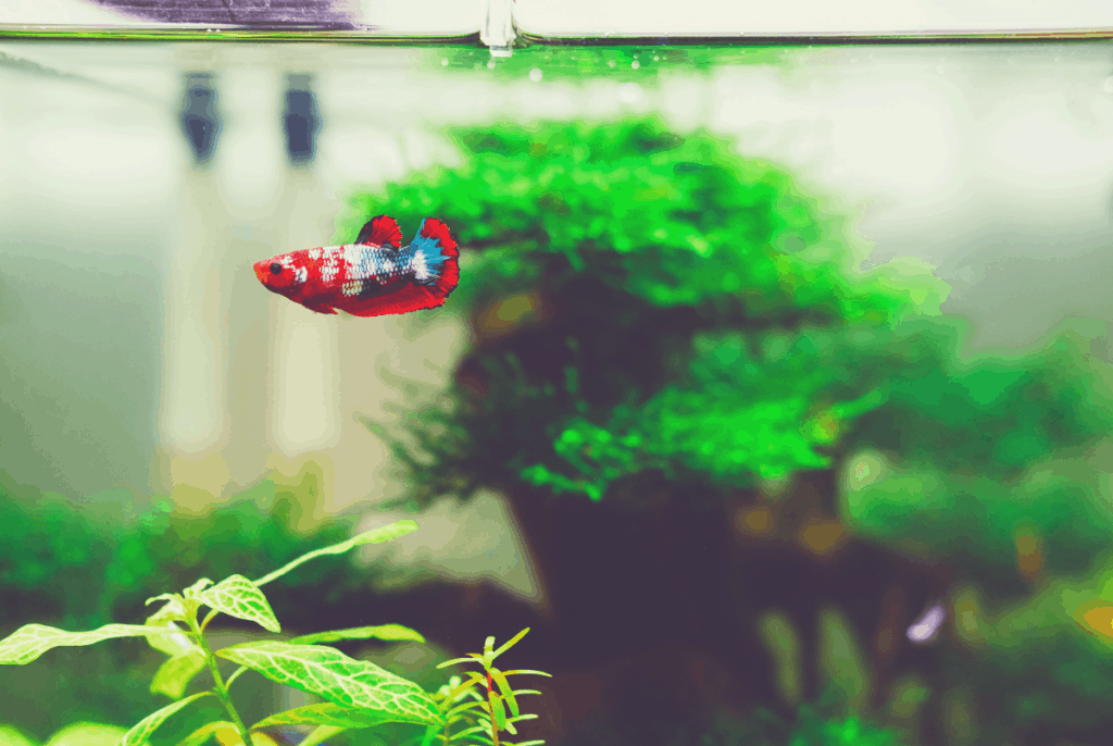 beta fish swimming with plants in the back